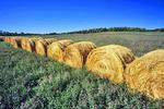 round bales, alfalfa field, Manitoba, Canada