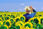 farmer looking out over his flowering sunflower crop, near Oakbank, Manitoba, Canada