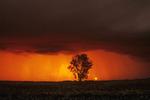 approaching storm/cottonwood tree, near Dugald, Manitoba