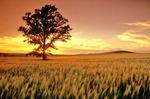 oak tree in barley field, Tiger Hills, Manitoba, Canada