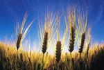 maturing barley, Manitoba, Canada
