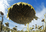 close-up of sunflower head ,Tiger Hills,  Manitoba, Canada