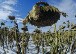 close-up of sunflower head ,Tiger Hills,  Manitoba, Canada