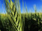 close up of durum wheat