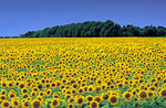sunflower field near Roland, Manitoba, Canada