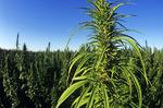 closeup of industrial hemp, Roland, Manitoba, Canada