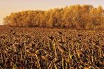 sunflowers/autumn, near Winnipeg, Manitoba, Canada