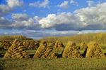 hay bales in field near Selkirk, Manitoba, Canada