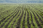 an early growth grain field near Anola, Manitoba, Canada