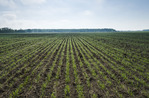 an early growth wheat field near Anola, Manitoba, Canada