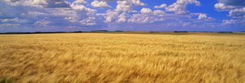 barley crop and sky with developing cumulusclouds, Tiger Hills, Manitoba
