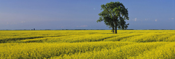 bloom stage canola field and cottonwood tree, near Lorette, Manitoba, Canada
