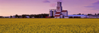 blooming canola field with  grain elevator in the background, Holland, Manitoba, Canada