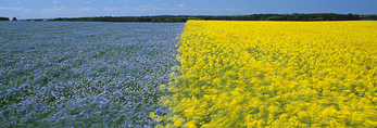 flowering flax and canola fields, Tiger Hills, Manitoba, Canada