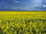 bloom stage canola field, Manitoba, Canada