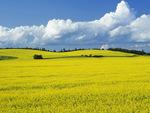 bloom stage canola field Tiger Hills, Manitoba, Canada