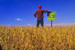 a man in a maturing harvest ready soybean , near Lorette, Manitoba, Canada
