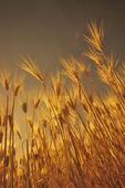 mature barley field, Manitoba, Canada