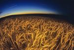 a man looks out over a mature, harvest ready durum wheat field, near Ponteix, Saskatchewan, Canada