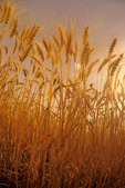 mature spring wheat field, near Dugald, Manitoba, Canada