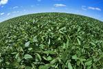 mid growth soybean field, Manitoba, Canada