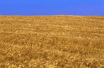barley field, Tiger Hills, Manitoba