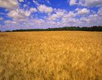 barley crop and sky with developing cumulonimbus clouds, Carey, Manitoba