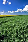 dry pea field near Holland, Manitoba, Canada
