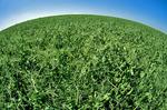 dry pea field near Admiral,  Saskatchewan, Canada