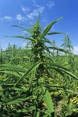 industrial hemp field, Manitoba, Canada