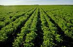 chickpea field  near Ponteix,  Saskatchewan, Canada