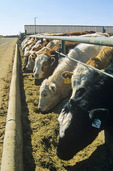 beef cattle at feedlot, Saskatchewan, Canada