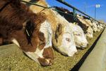 beef cattle at feedlot, Saskatchewan, Canada