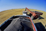 canola is augered into a farm truck during the harvest, near Holland, Manitoba, Canada
