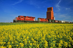 canola field with grain elevator and passing train containing rail hopper cars in the background, Manitoba, Canada