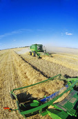 combine harvesters work in a canola field