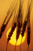 mature barley crop and sky at sunset,