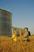 examining a maturing wheat crop near Dugald, Manitoba, Canada