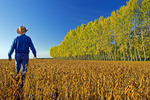 a man scouts a mature harvest ready soybean field with a shelter belt in the background, near Lorette, Manitoba, Canada