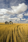 field showing remains of wheat straw after summer hail damage  and sky with  clouds, near Ponteix, Saskatchewan Canada