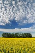 canola field, Niverville, Manitoba, Canada