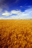 winter wheat field near La Salle, Manitoba, Canada