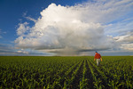 a farmer scouts a field of early growth feed/grain corn, sky containing a cumulonimbus cloud buildup in the background, near Dufresne, Manitoba, Canada