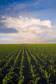 a field of early growth feed/grain corn stretches to the horizon,  near Dufresne, Manitoba, Canada