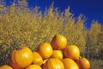 pumpkins and aspen trees, autumn near Oakbank, Manitoba, Canada
