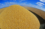 a combine hopper full of feed corn during the grain corn harvest
