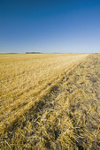 barley stubble in a field showing partial tilling of field , near Lorette, Manitoba ,Canada