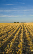 wheat stubble in a field, near Lorette, Manitoba ,Canada