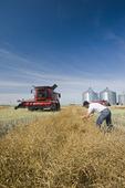 man checks a mature, harvest ready cana crop with a combine next to a farm yard, near Dugald, Manitoba, Canada