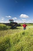 young farmer swathing high yield canola field, near Lorette, Manitoba, Canada